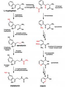 Tryptophan converts into serotonin and melatonin