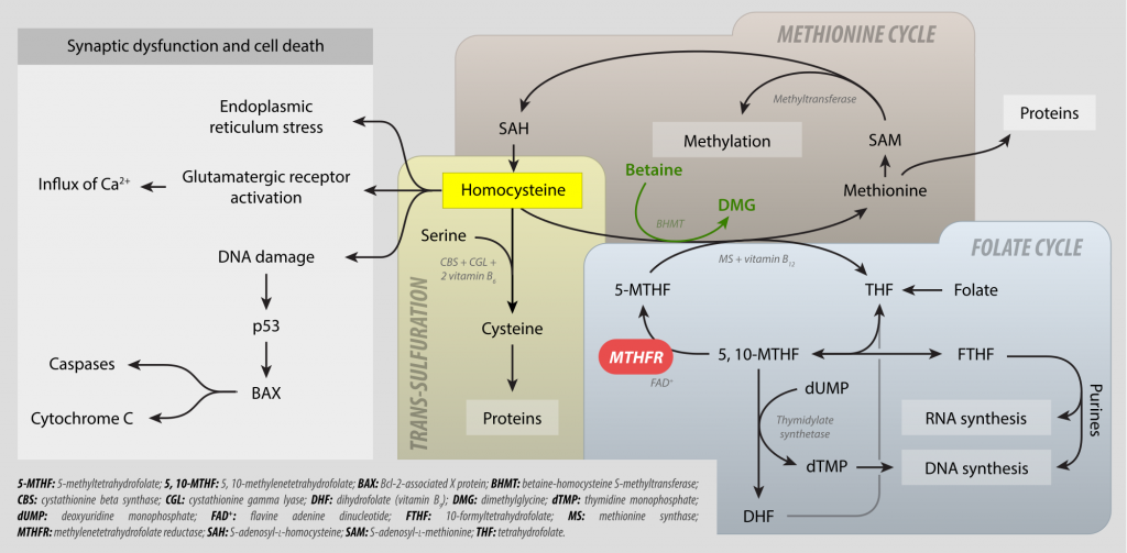 Methylation cycle showing the role of methylfolate in regulating various different pathways