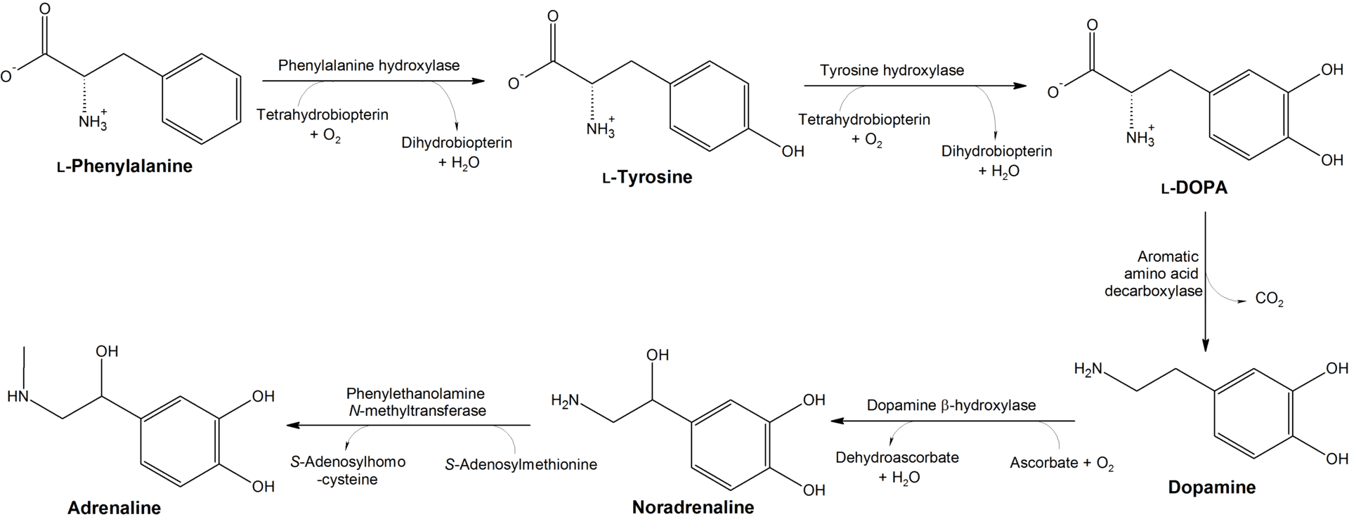 The chemical steps required for tyrosine to be converted into dopamine in the body